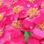 Heat and Drought Tolerant Perennials - Feature
