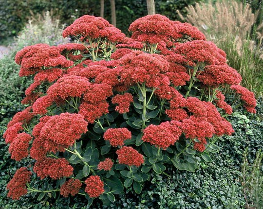 Stonecrop - Sedum Autumn Fire