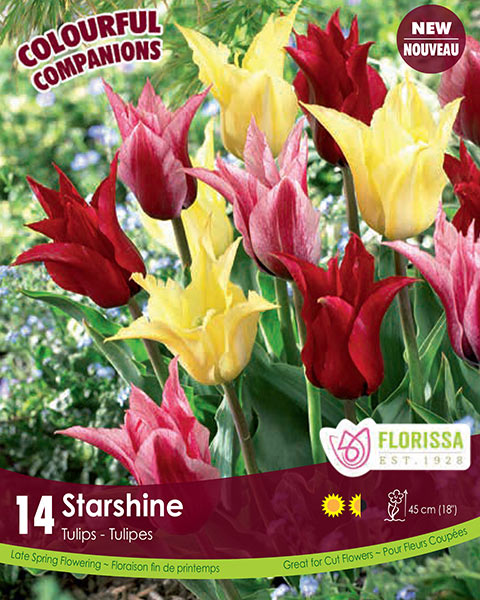Starshine - Lily Flowering Tulips