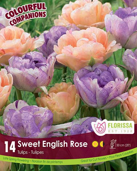 Sweet English Rose - Double Late Tulips
