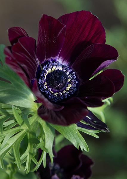 Anemone Meron Bordeaux - Garden Accents: Anemones