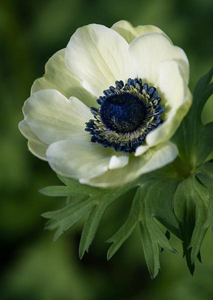 "Anemone ""Carmel White"" - Garden Accents: Anemones"