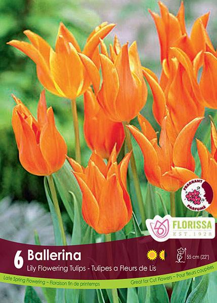 """Tulip """"Ballerina"""""""