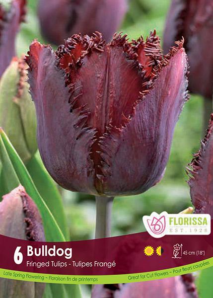 """Tulip """"Bull Dog"""""""