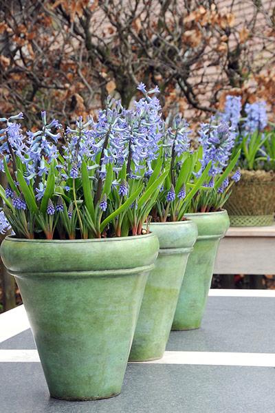 Blue Festival Hyacinths