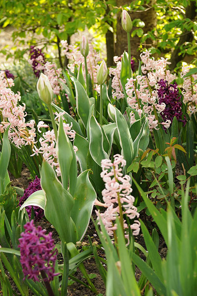 Hyacinths: Spring is in the Air - Florissa's Tip
