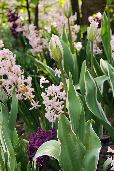 Pink Festival Hyacinths