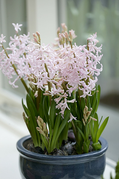 Potted Pink Festival Hyacinths