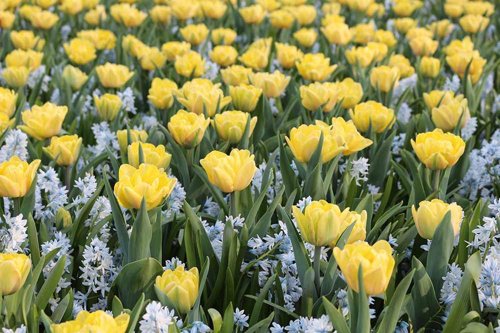 Foxy Foxtrot Tulips with Puschkinia Libanotica