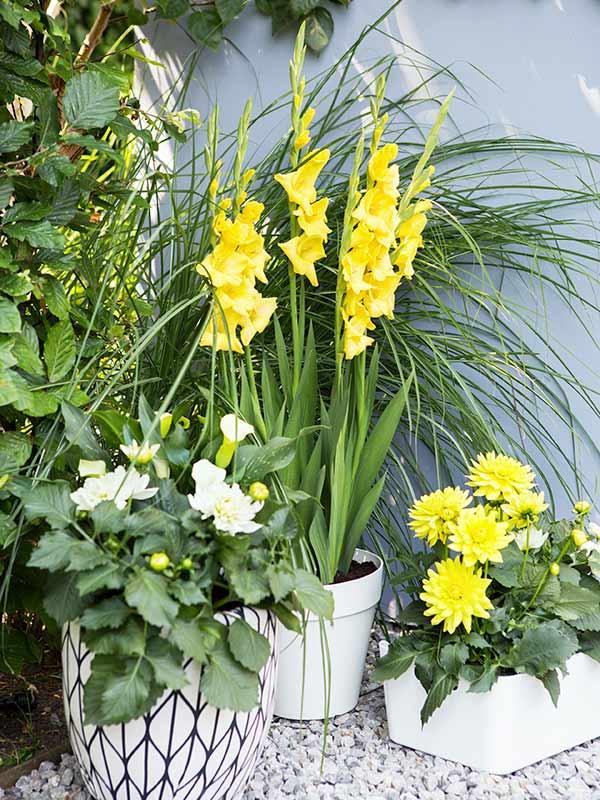Dahlia Calla Gladiolus Blooming Durango May Mint Julep