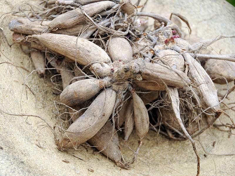 Dahlia Dry Bulbs