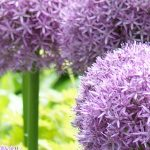 Giant Bulbs for the Late Spring Garden - Feature