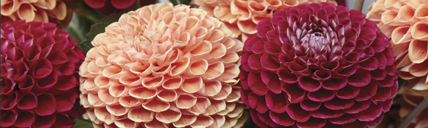 Spring 2019 - Antique Copper Dahlias