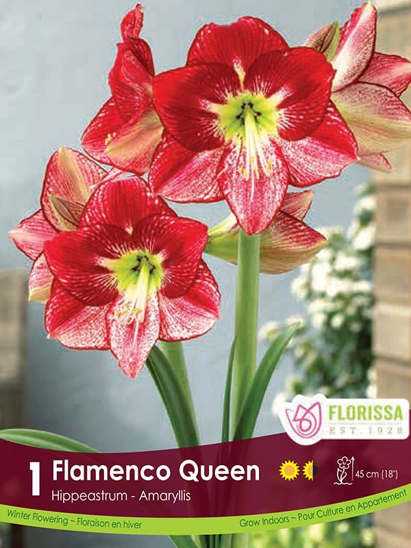 Novelty Amaryllis - Flamenco Queen