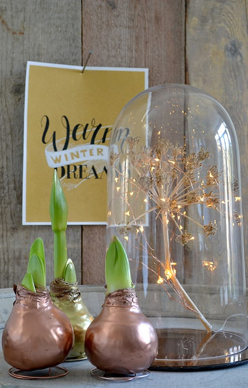Amaryllis Hippeastrum for Christmas in Gold Wax