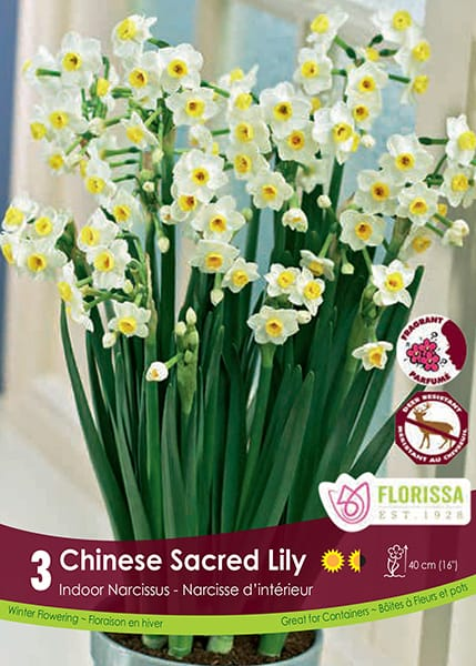 Chinese Sacred Lily Paperwhites - Indoor Narcissus