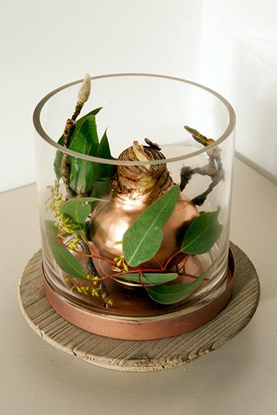 Amaryllis Hippeastrum Christmas - Gold Wax in Glass Vase