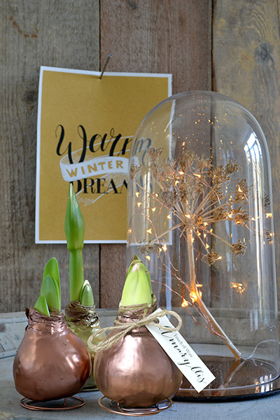 Amaryllis Hippeastrum Christmas - Gold Wax with Tag