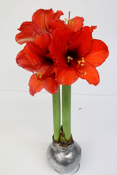 Large Blooming Red Wax Amaryllis