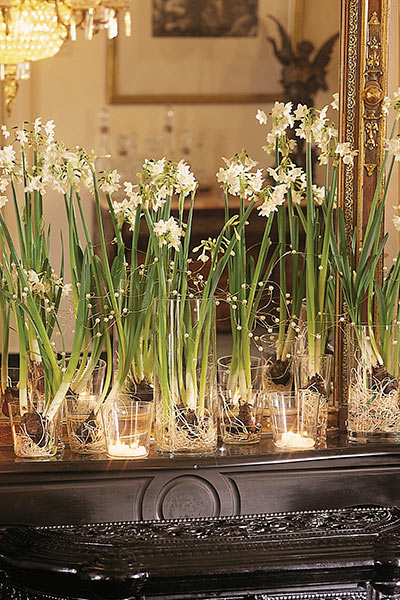 Forcing Narcissus Paperwhites