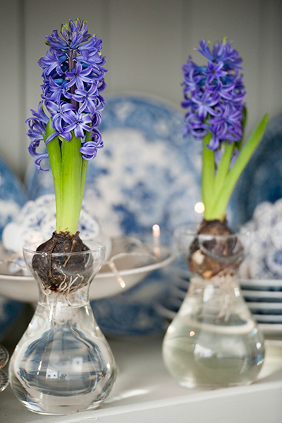 Forcing Blue Hyacinths in Glass