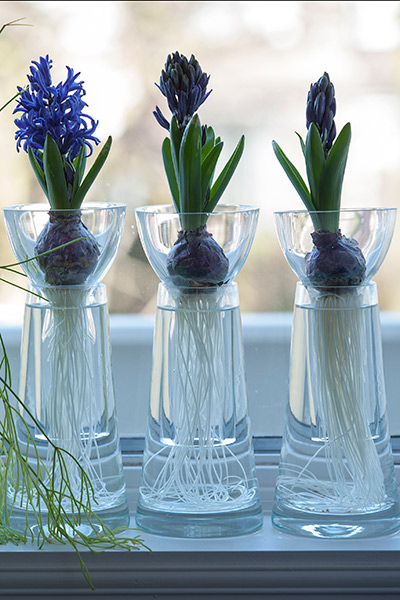 Hyacinthus on Glass - Step 2