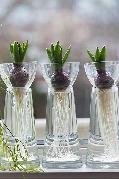 Hyacinthus on Glass - Step 1
