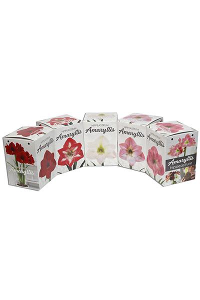 New Florissa Amarylllis Boxes