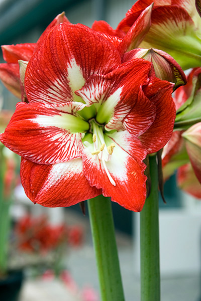 Amaryllis Bloom Minerva