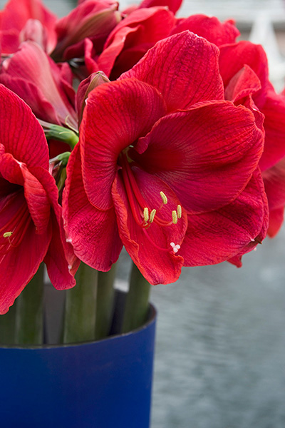 Red Blooming Amaryllis