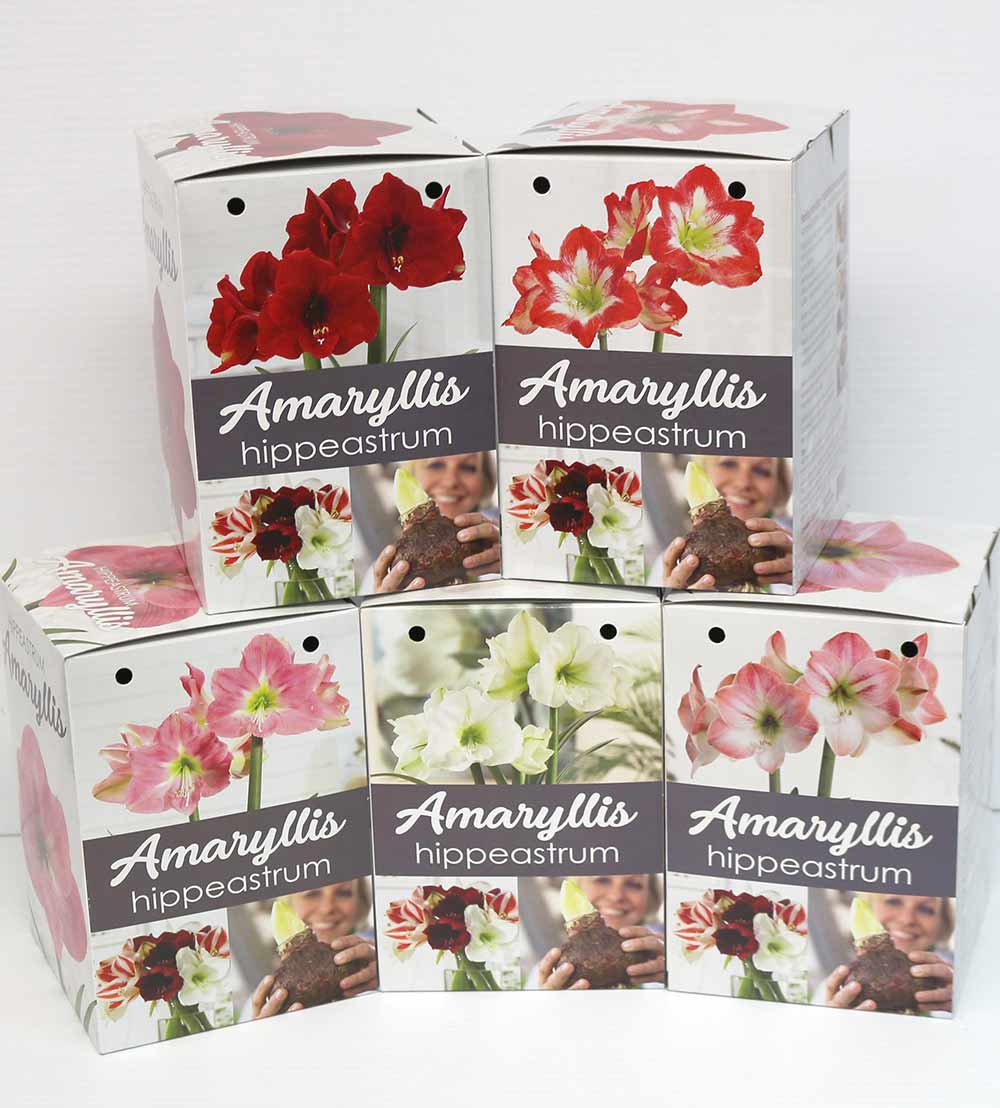 New Florissa Amaryllis Box