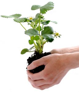 Strawberry plant in hands