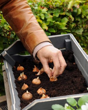 Crocus dry bulb planting people Ibulb_207403_adj