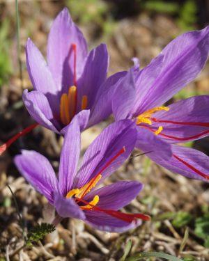 crocus sativus saffron-2828532_adj