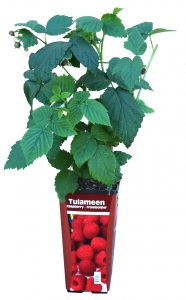 Potted Raspberry Plant