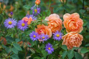 Rose Companion Plants